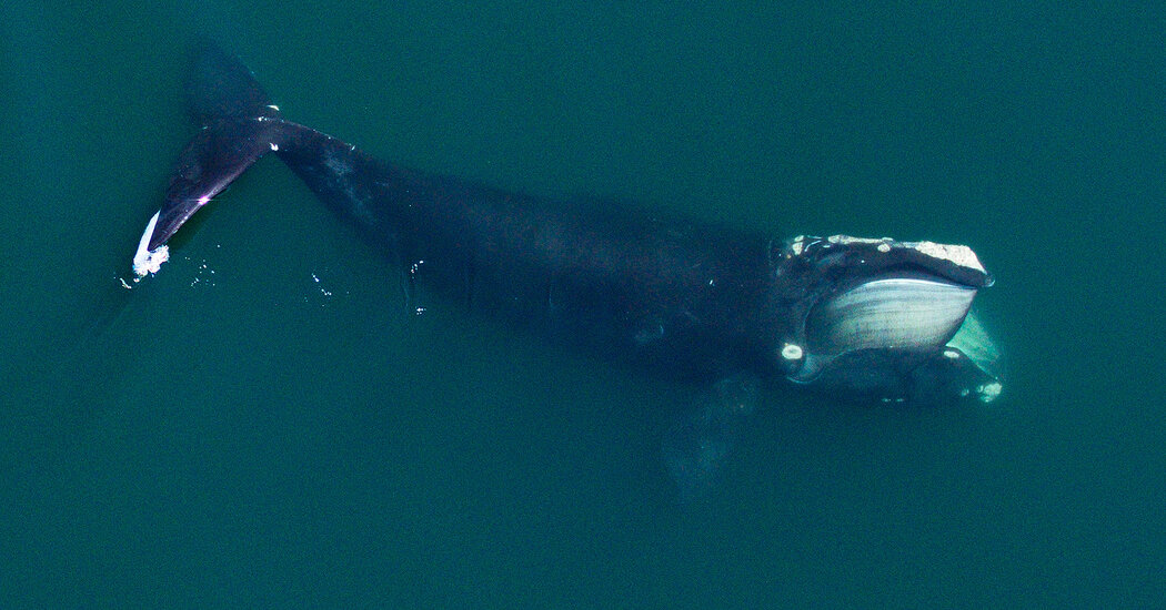 On the Verge of Extinction, These Whales Are Also Shrinking