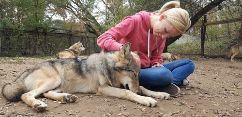Domesticated Wolves Suffer Separation Anxiety From Humans Similar To Dogs