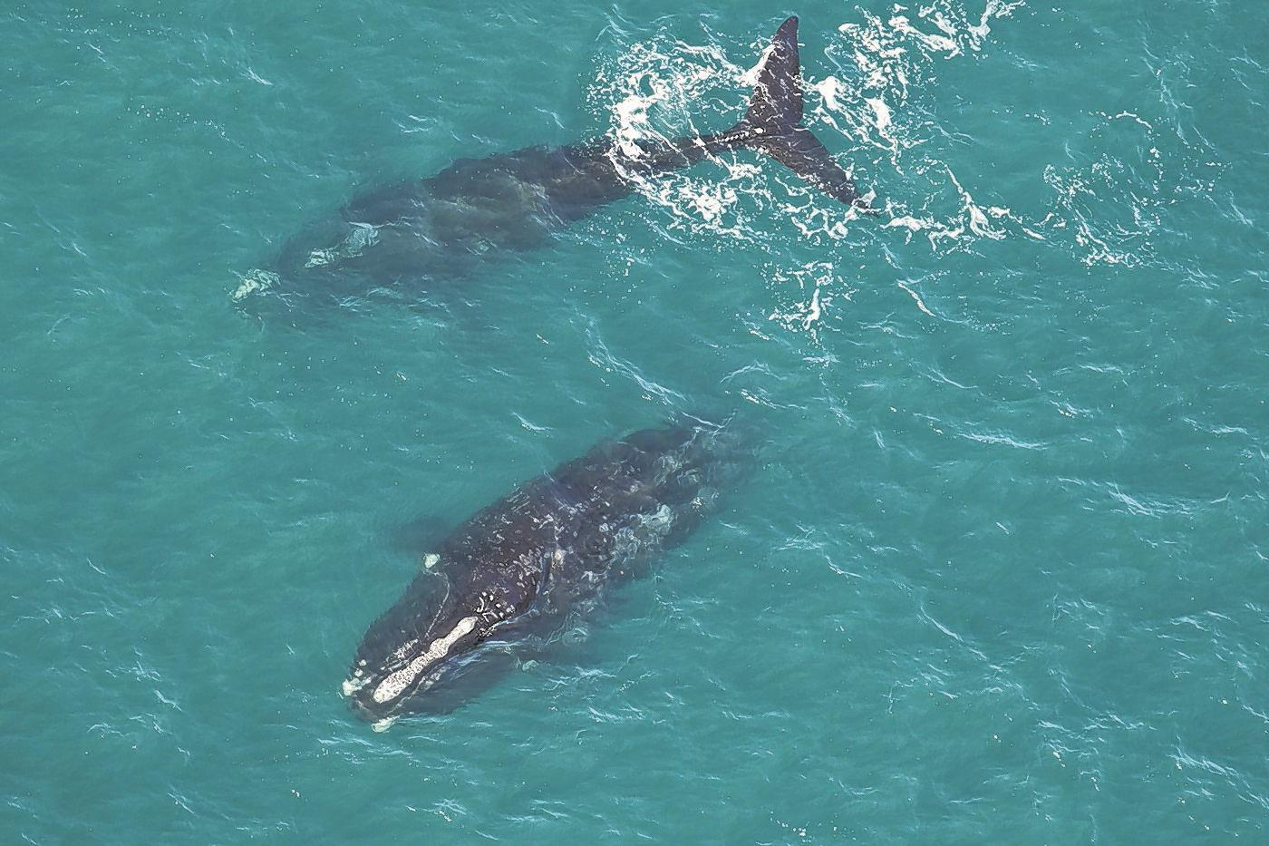 Endangered right whales population at about 413, expert reports in update