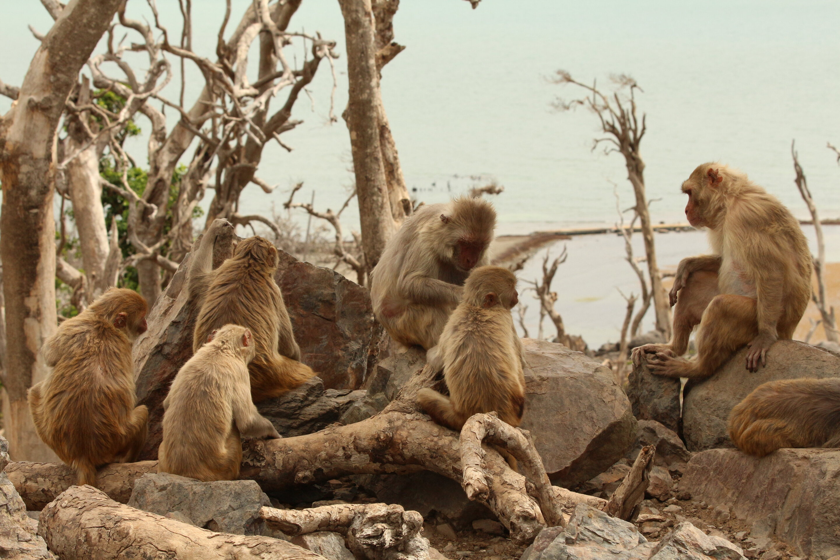 After Hurricane Maria, rhesus macaques in Puerto Rico sought out new social relationships