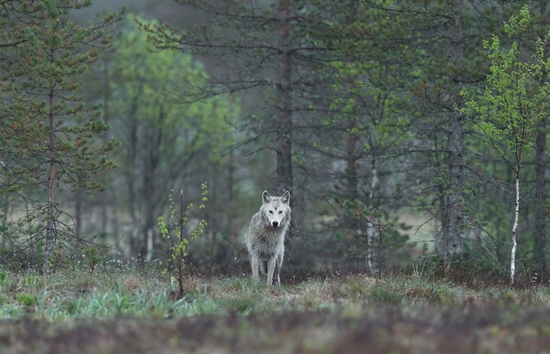 Will Colorado Bring Back Wolves? It's Up to Voters