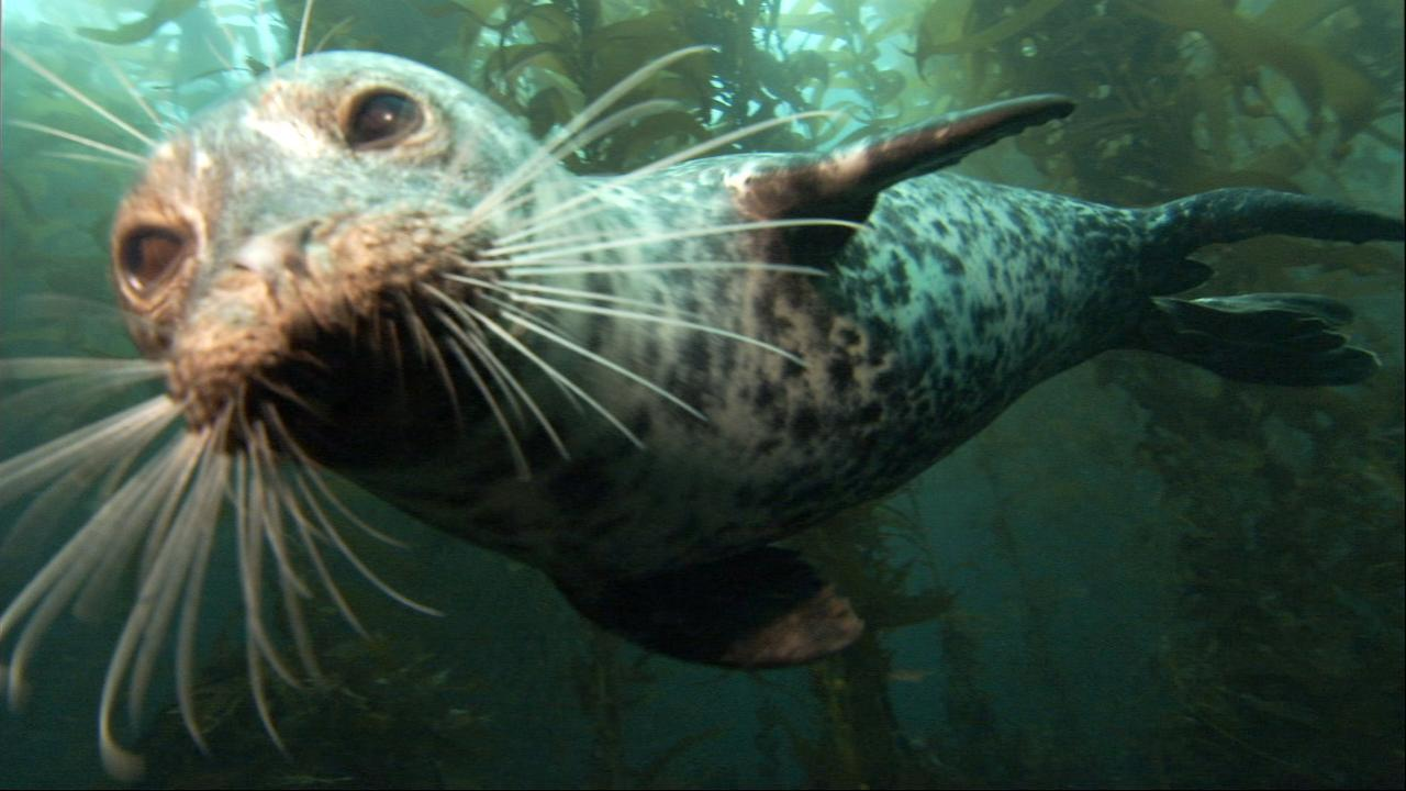 Why Salish Sea researchers are targeting superbugs in marine mammals