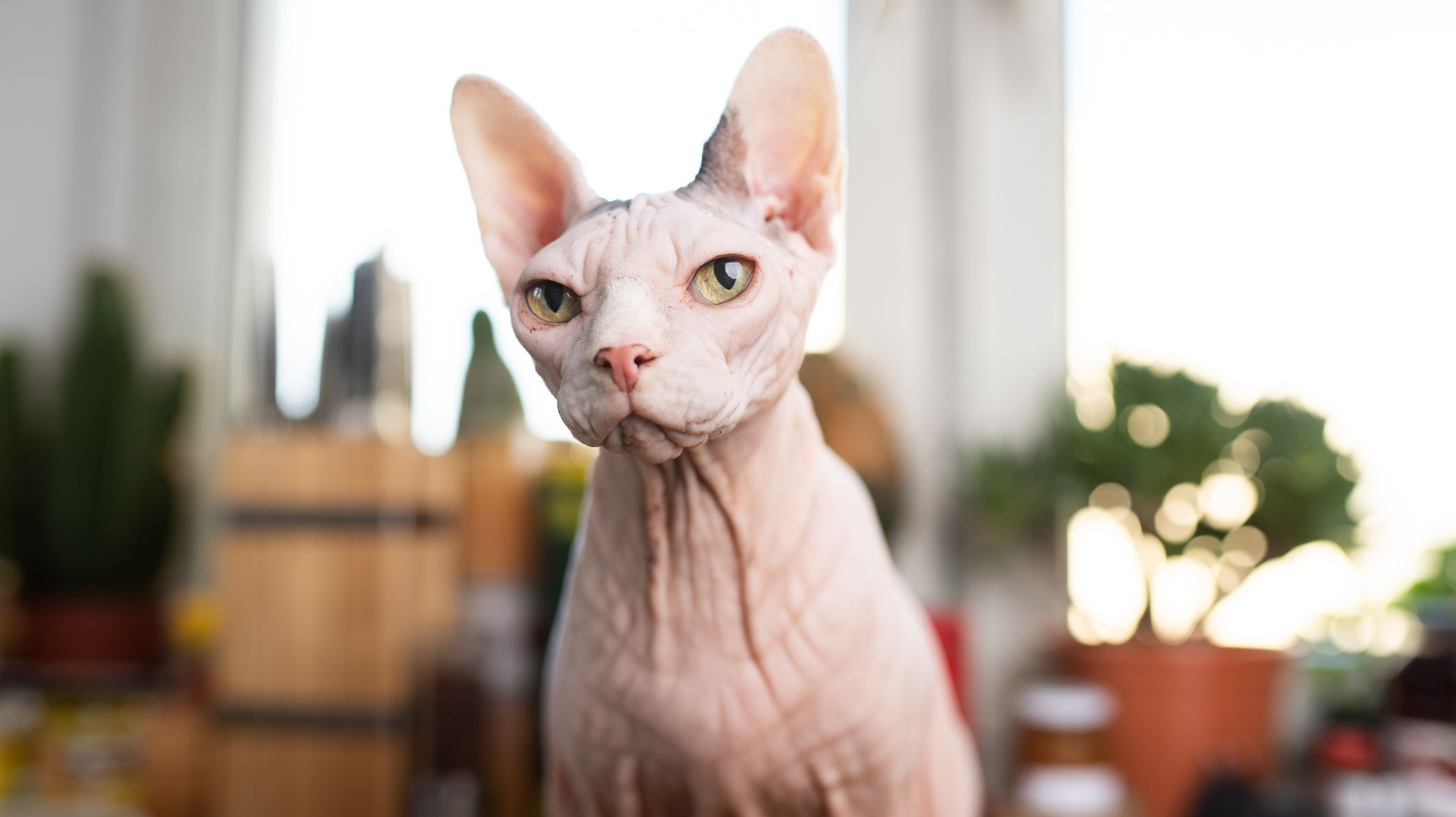 11 Facts About Sphynx Cats