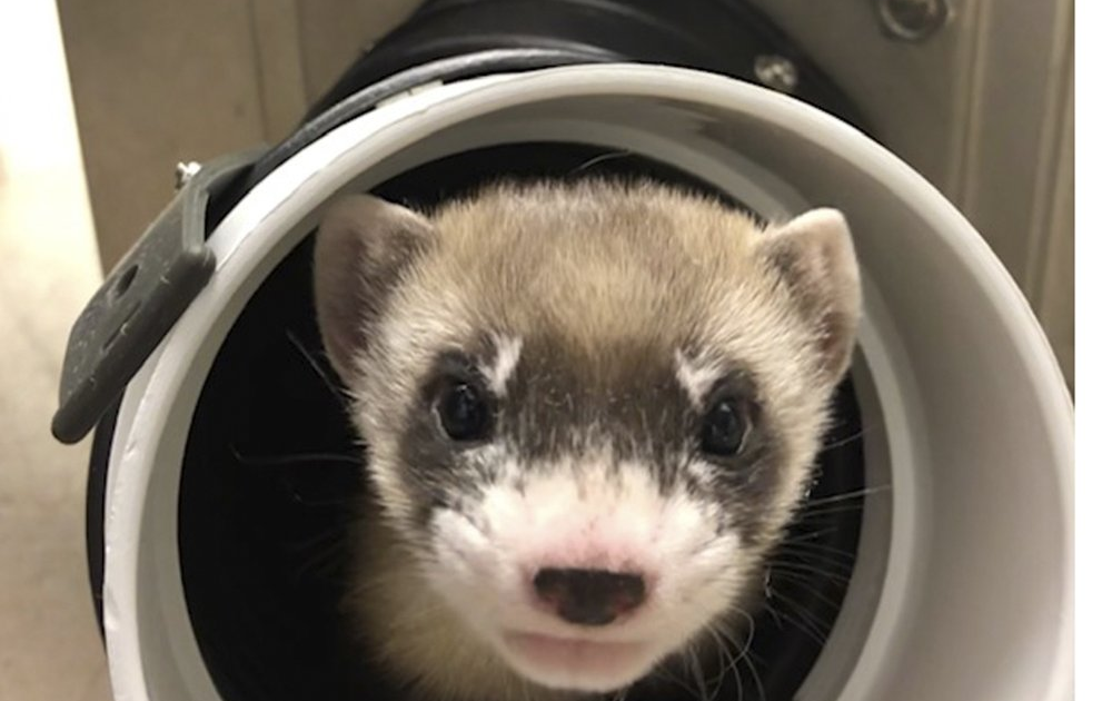 Ferreting out the Details of Reproductive Cloning