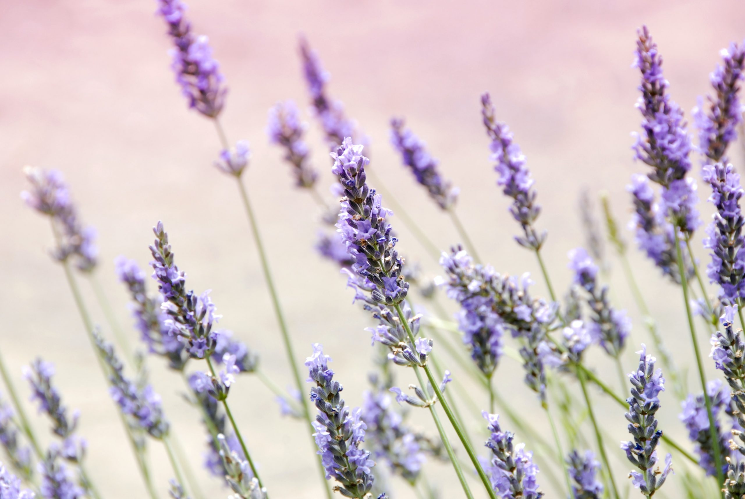 Lavender Trivia | 40 facts about the soothing herb