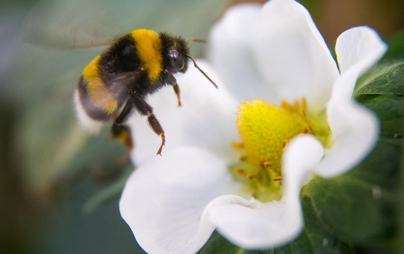 Caffeine Boosts Bees' Focus and Helps Them Learn