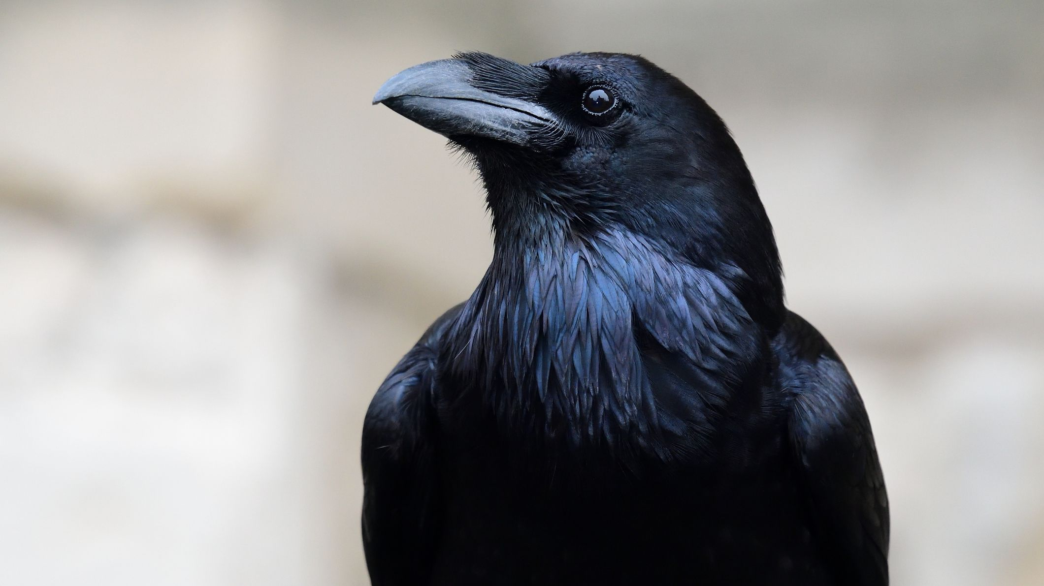 Crow vs. Raven: What's the Difference?