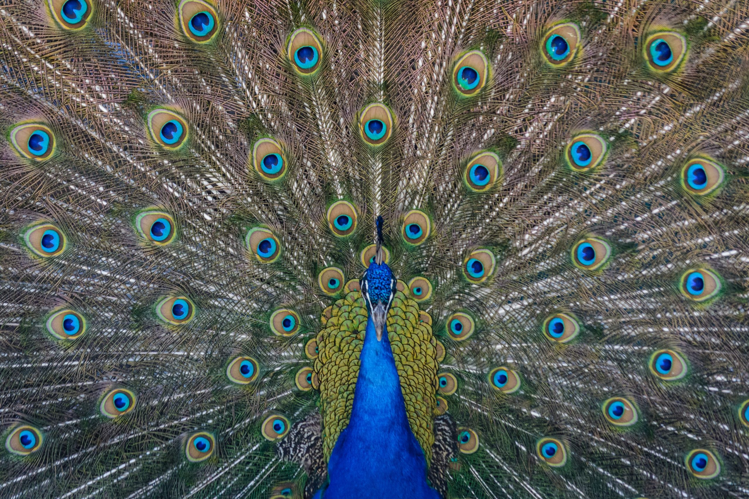 Peacock Trivia | 30 facts about the colourful animal