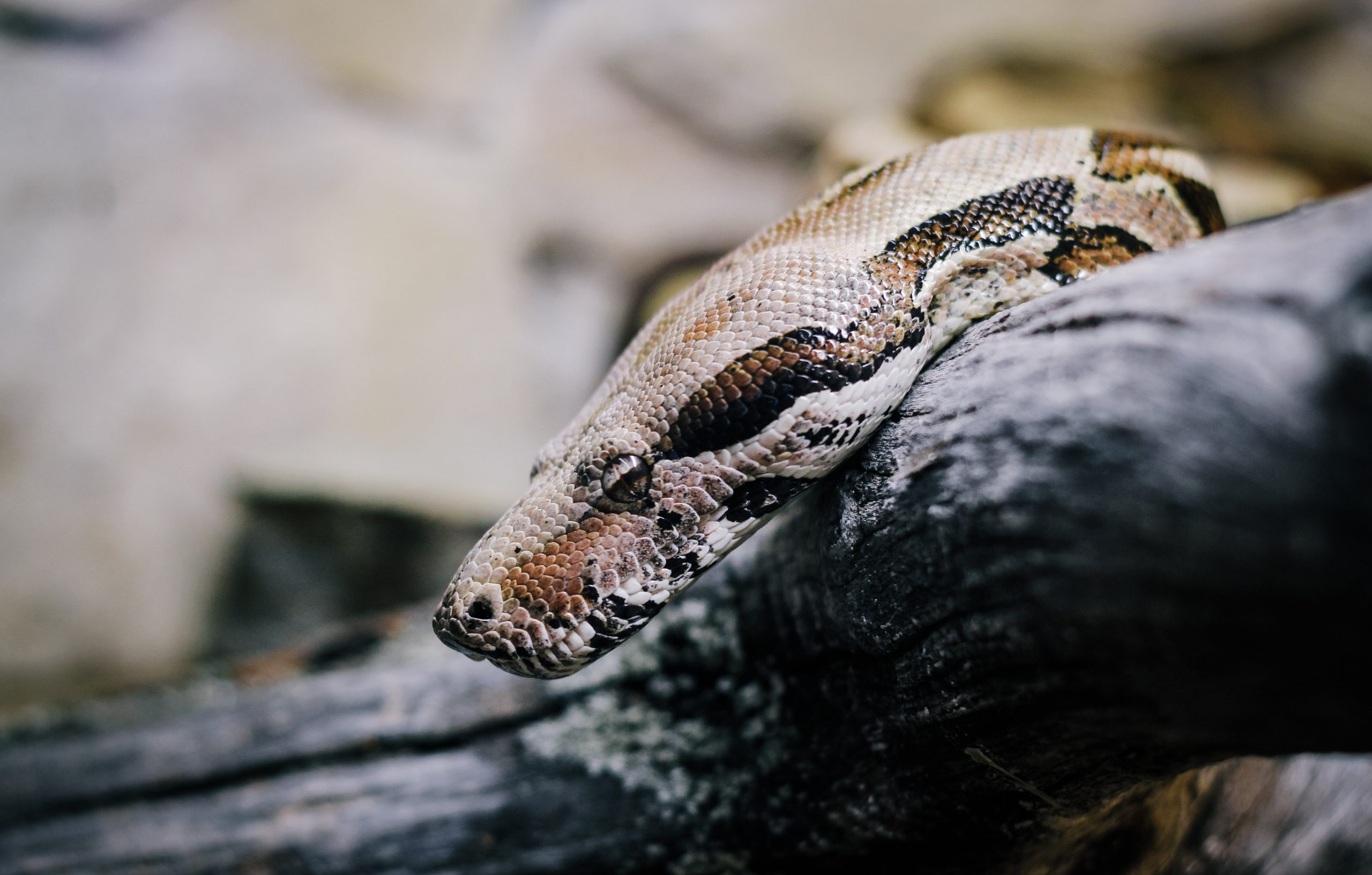 Pythons Trivia | 30 facts about the dangerous snakes