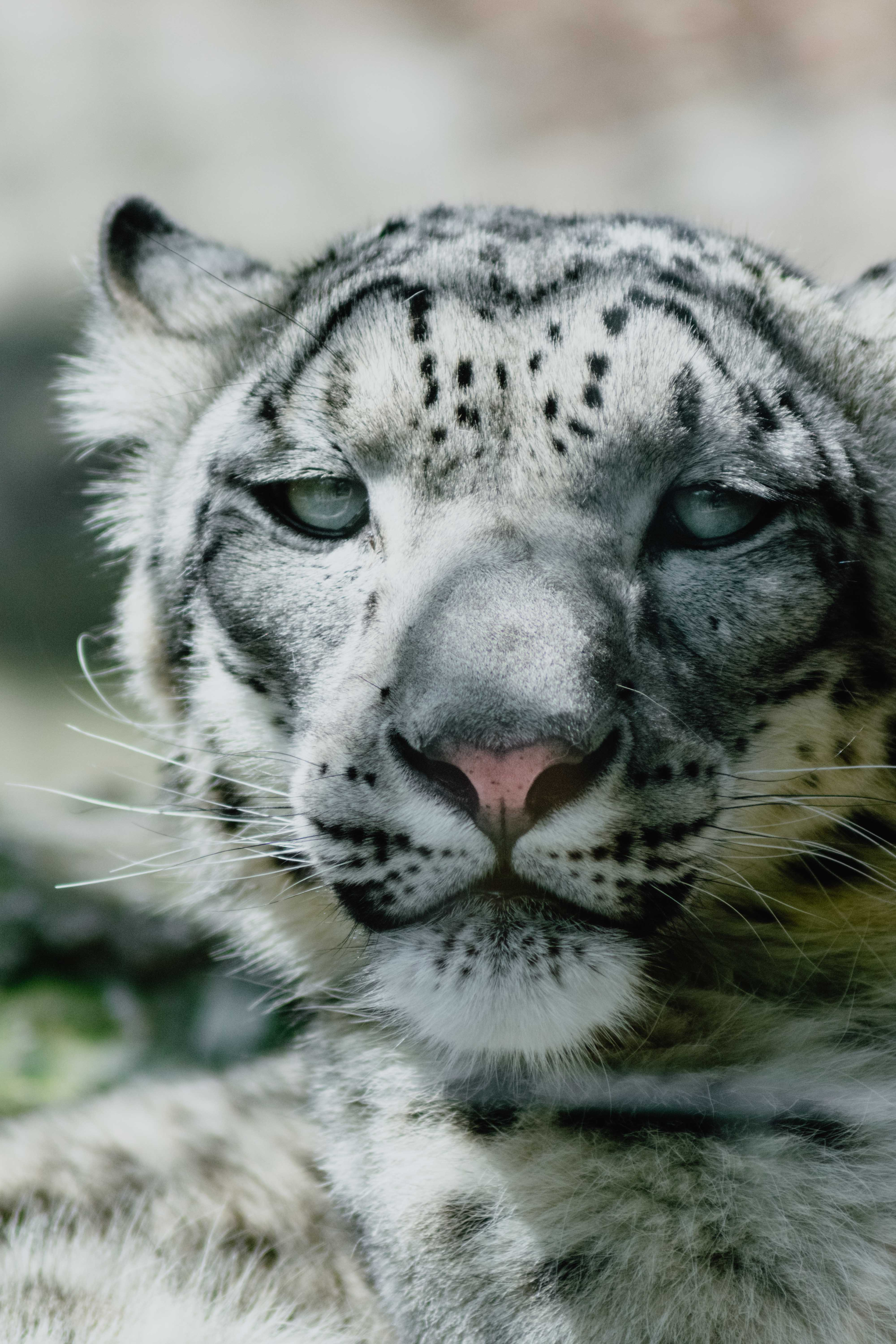 They Called Him Snow Leopard