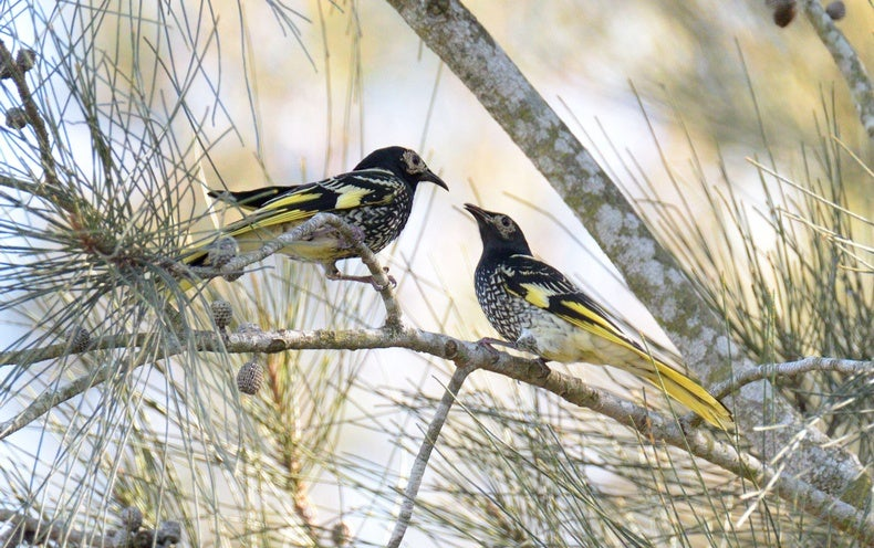 These Endangered Birds Are Forgetting Their Songs