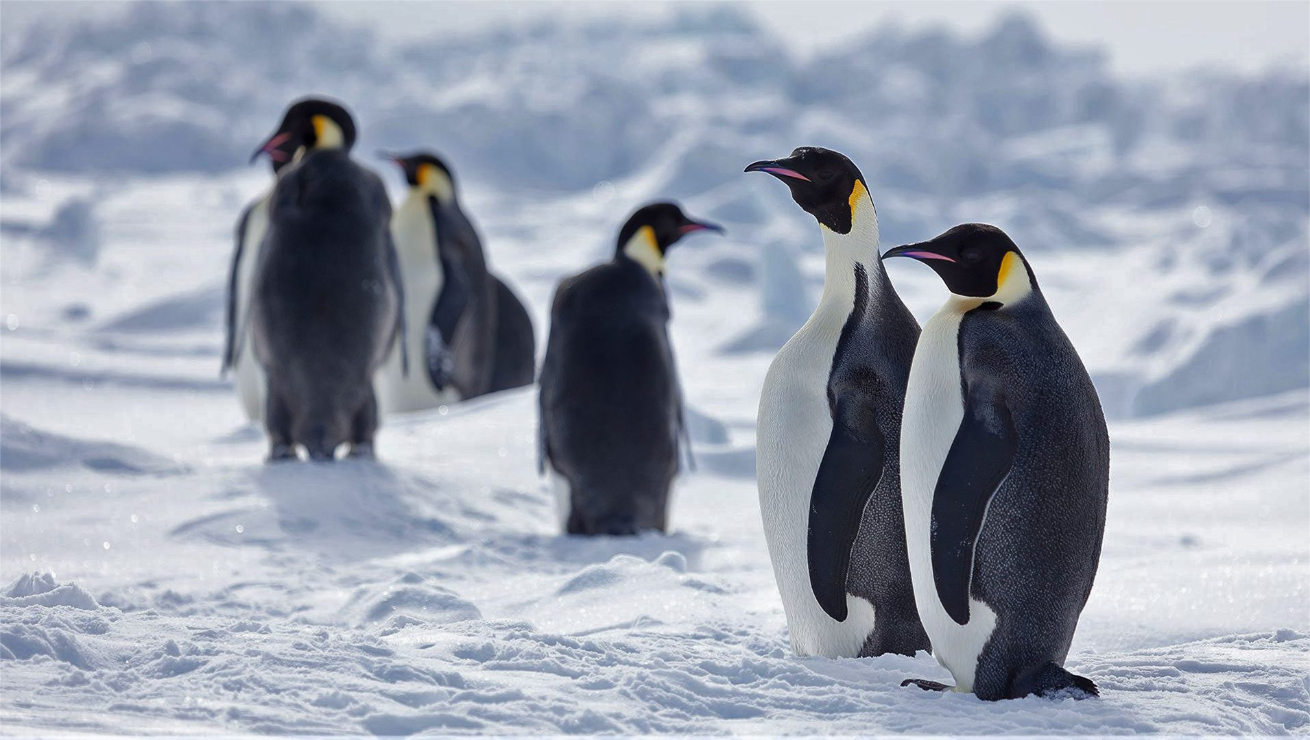 Emperor penguins, recommended as threatened species under Endangered Species Act