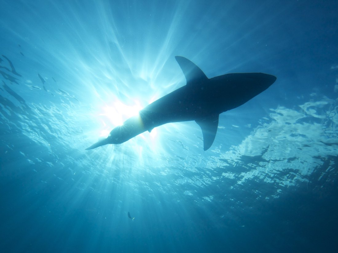 On East Coast, New Efforts for Beachgoers to Coexist With Sharks