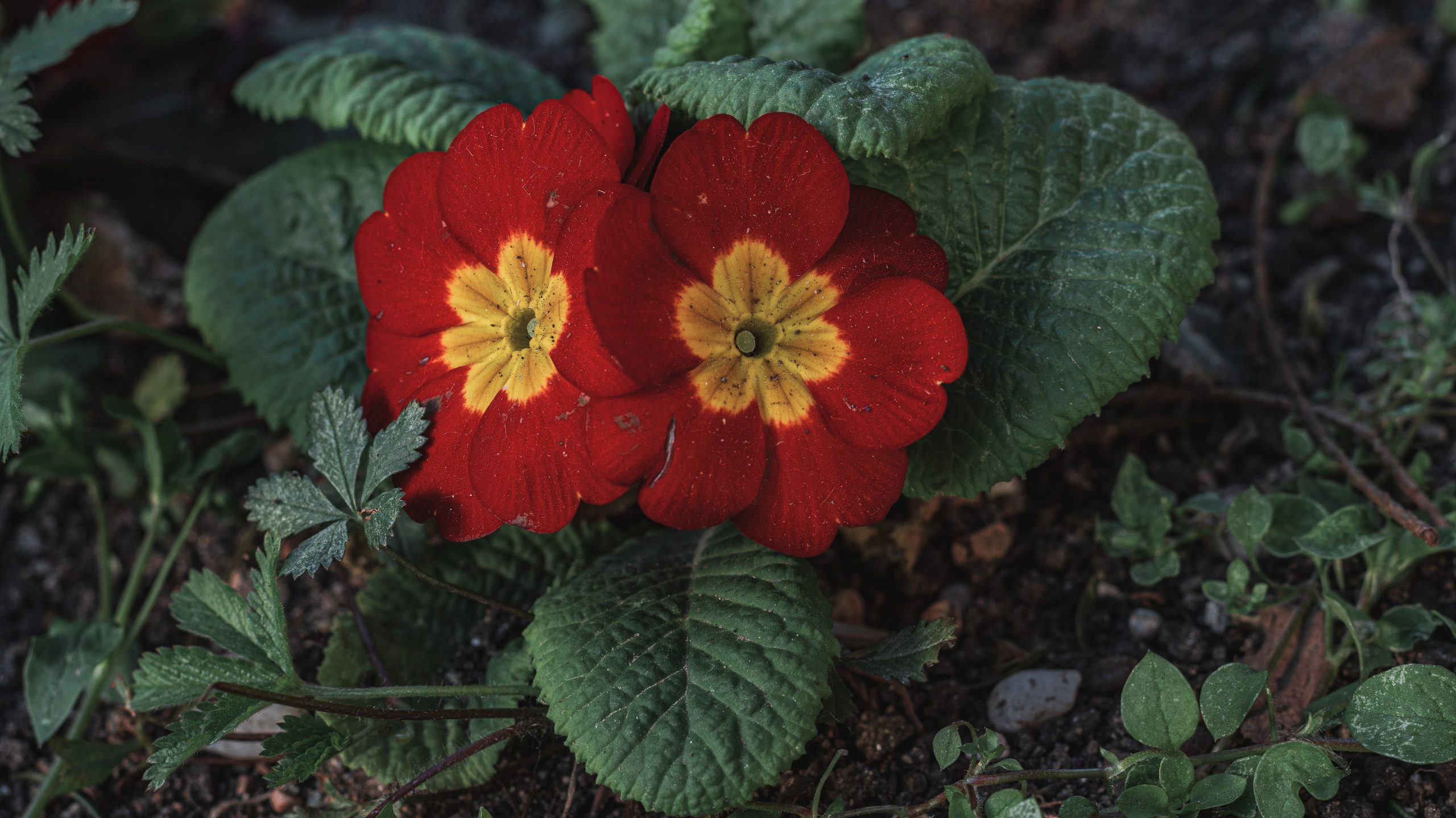 Primrose Trivia   30 facts about the flower