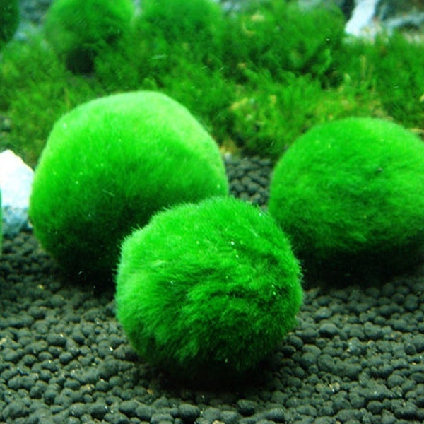 If You Just Bought A Marimo Moss Ball, Kill It With Bleach