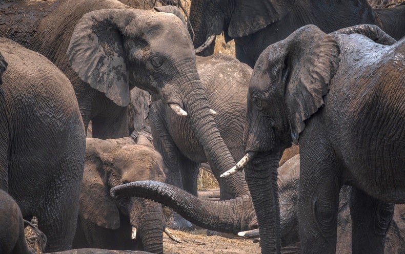 For African Elephants, Pee Could Be a Potent Trail Marker