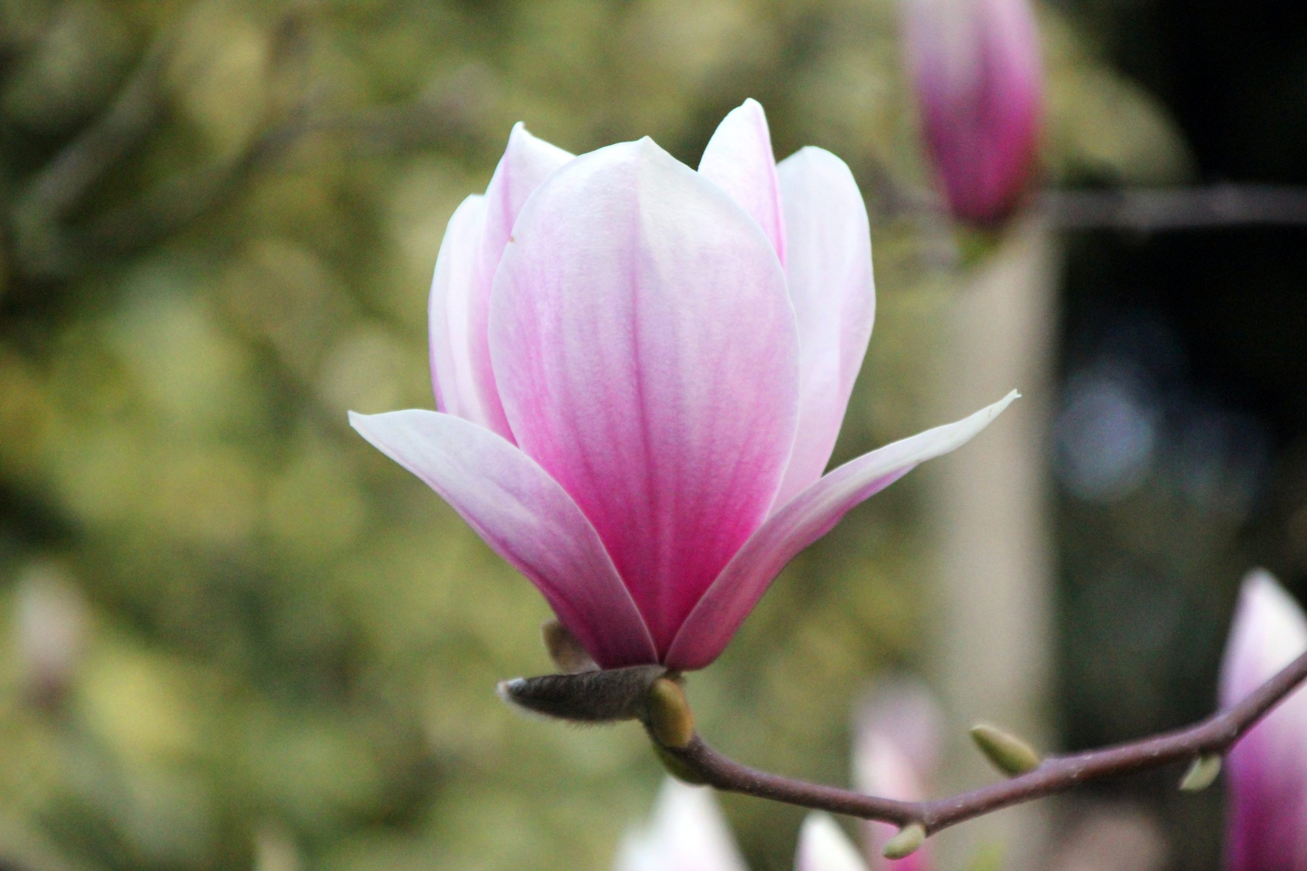 Magnolias Trivia   40 facts about the beautiful flower