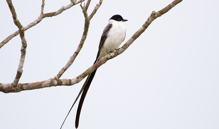 Fork-Tailed Flycatchers Make Sounds With Their Feathers in Different Accents