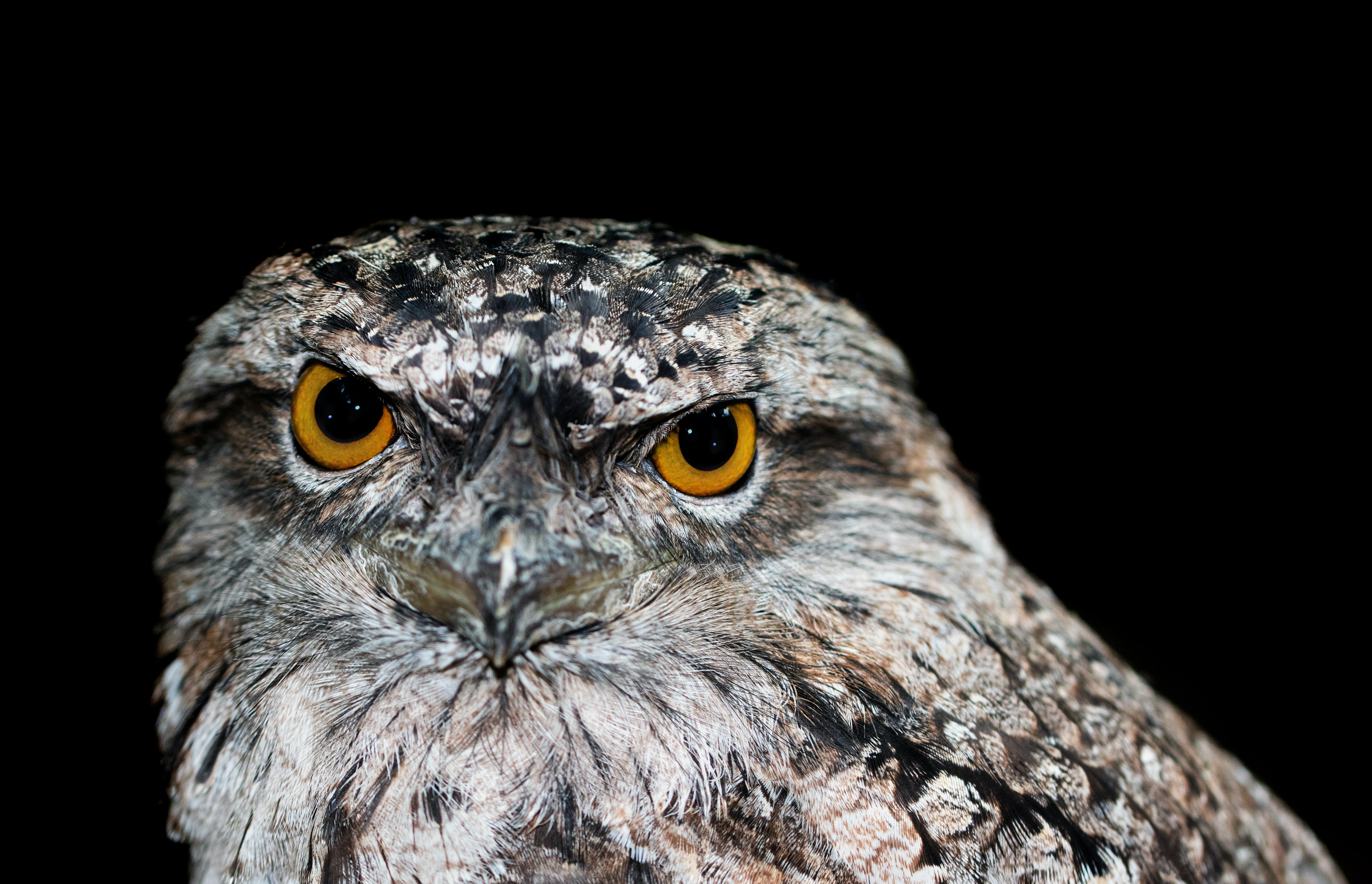 28 Cute Frogmouth Babies That Have Very Expressive Looks