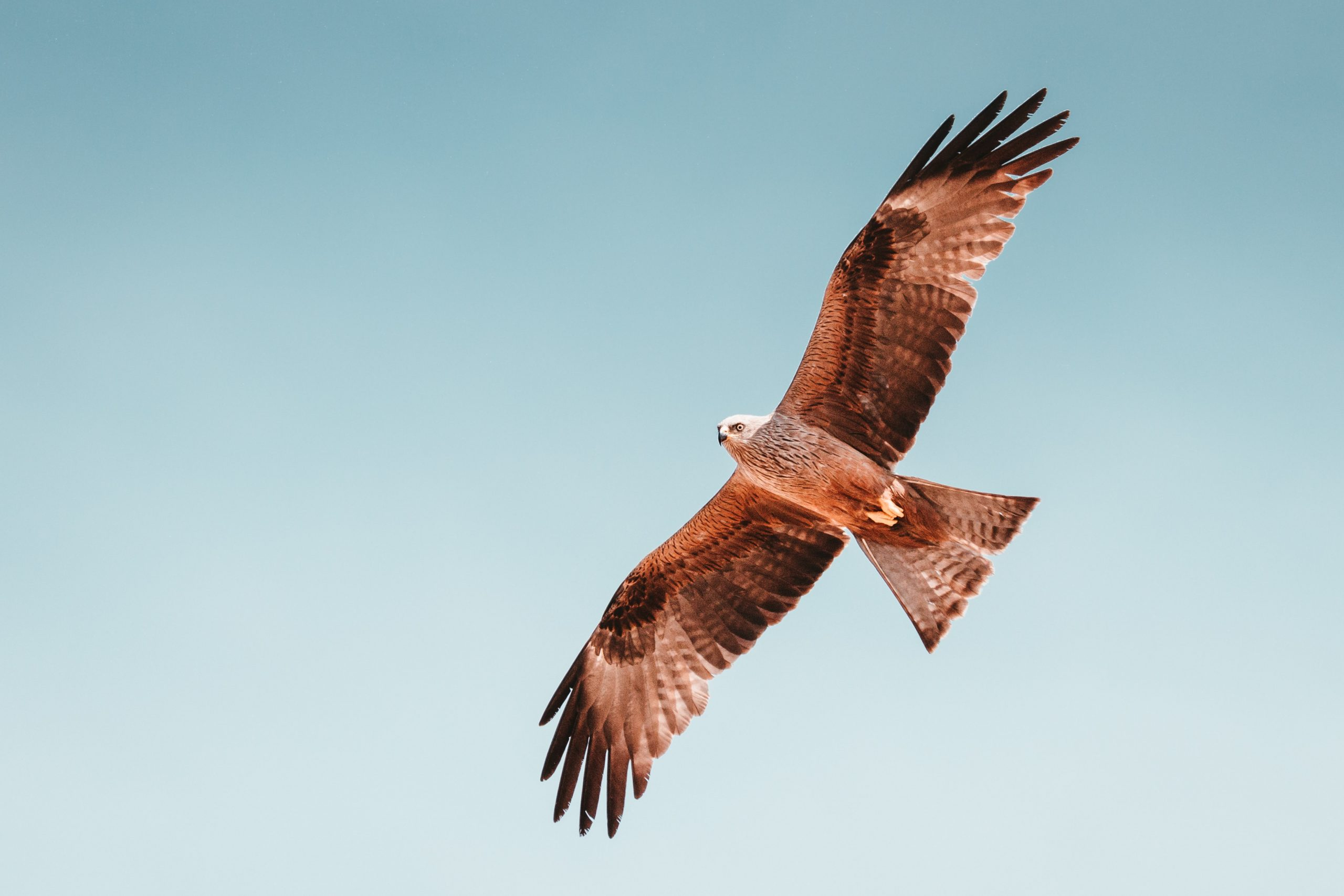 Hawk Trivia | 30 facts about the spectacular bird of prey