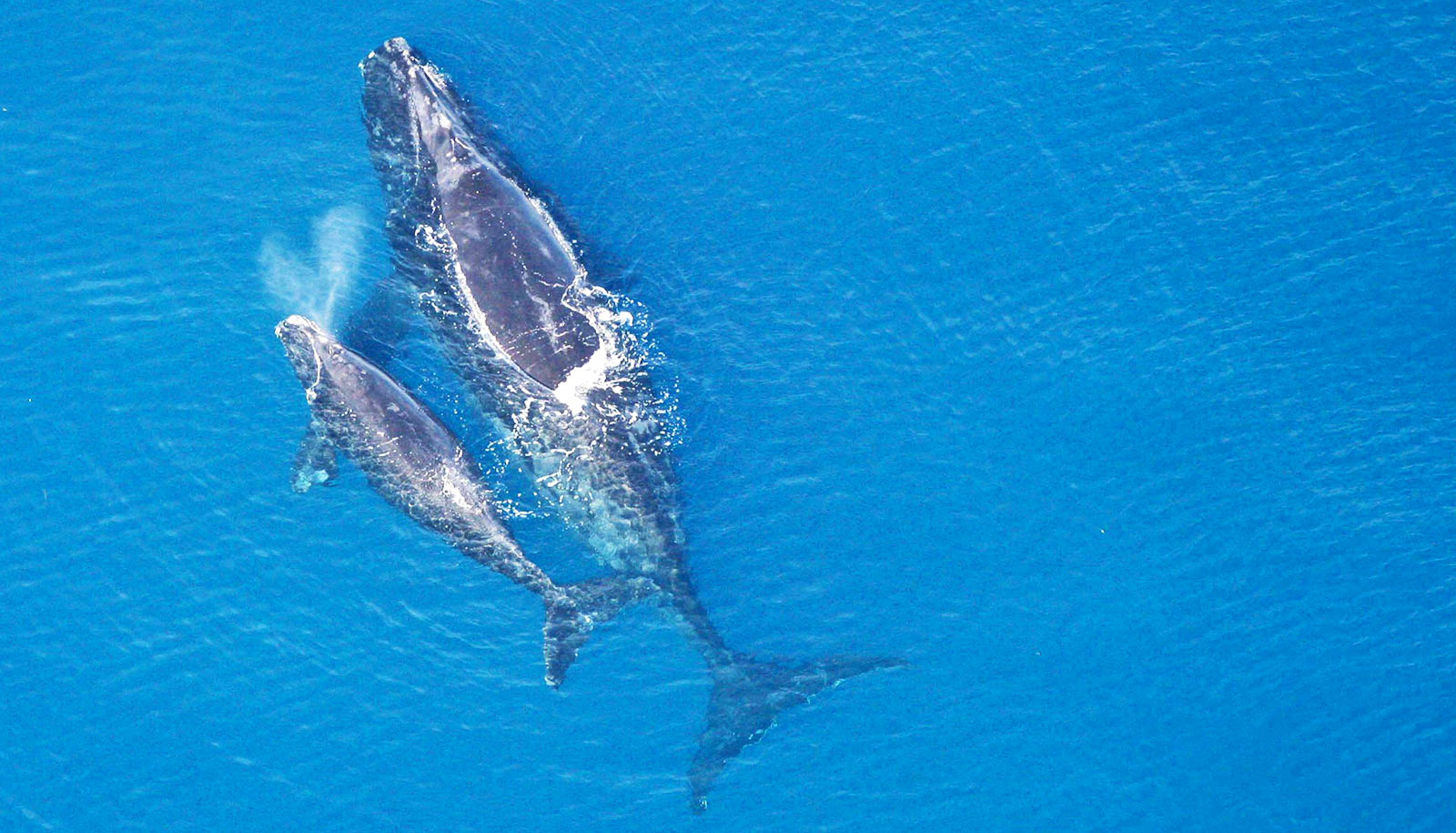 Fewer than 366 North Atlantic right whales are left on Earth