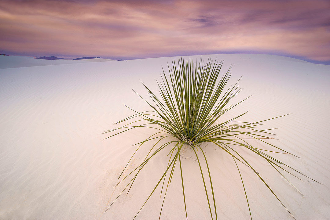 Yucca at Sunset, New Mexico, USA by Chip Carroon