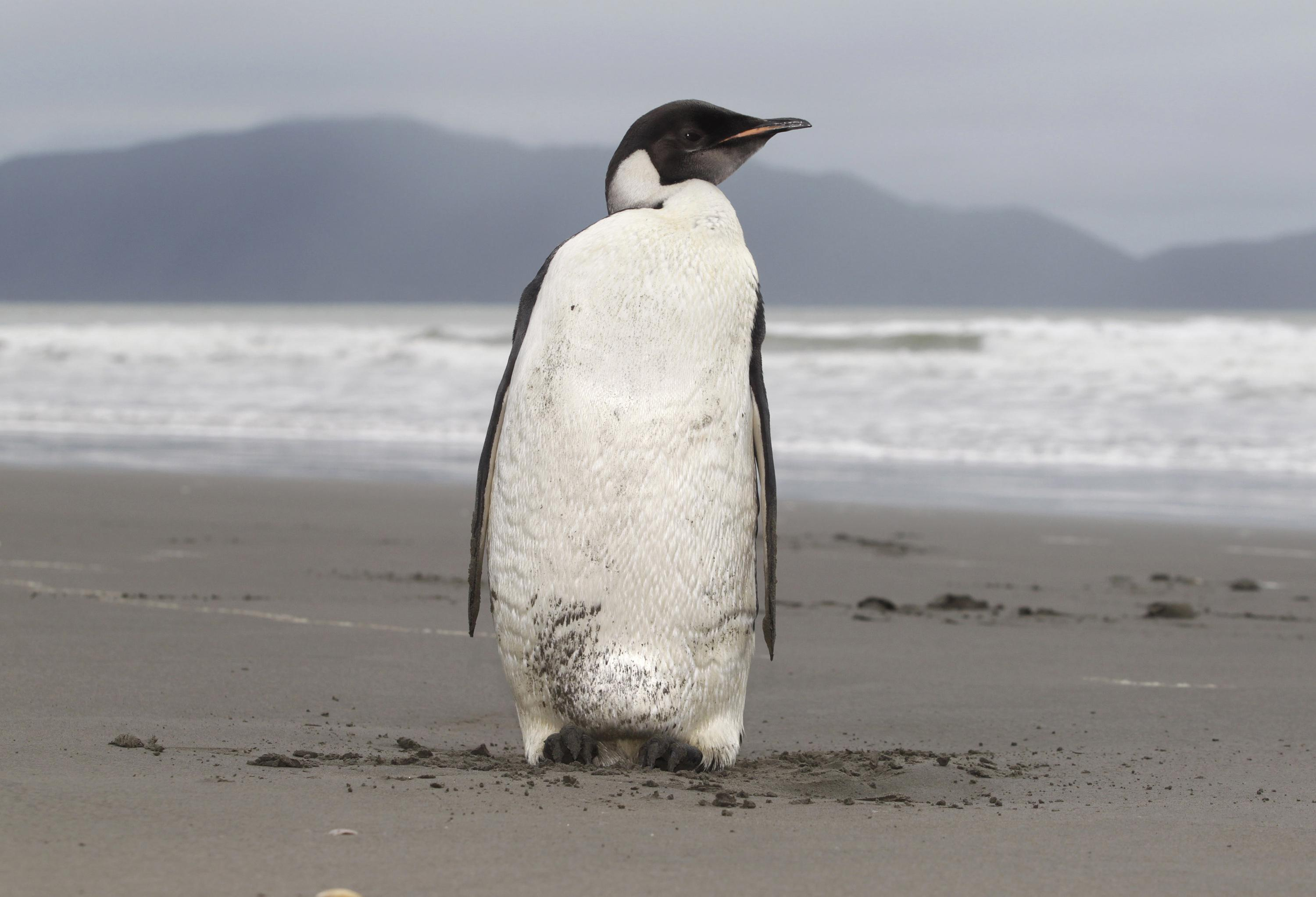Melting ice imperils 98% of Emperor penguin colonies by 2100