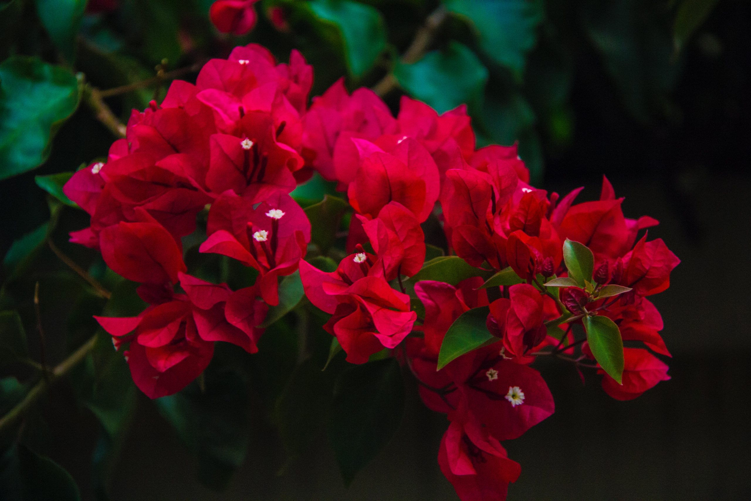 Bougainvillea Trivia   30 facts about the beautiful flower