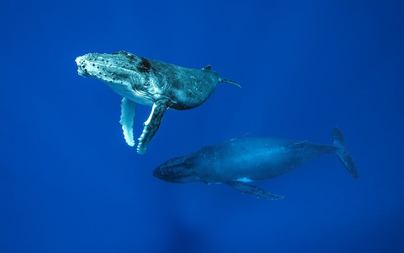The Deepest Dive to Find the Secrets of the Whales