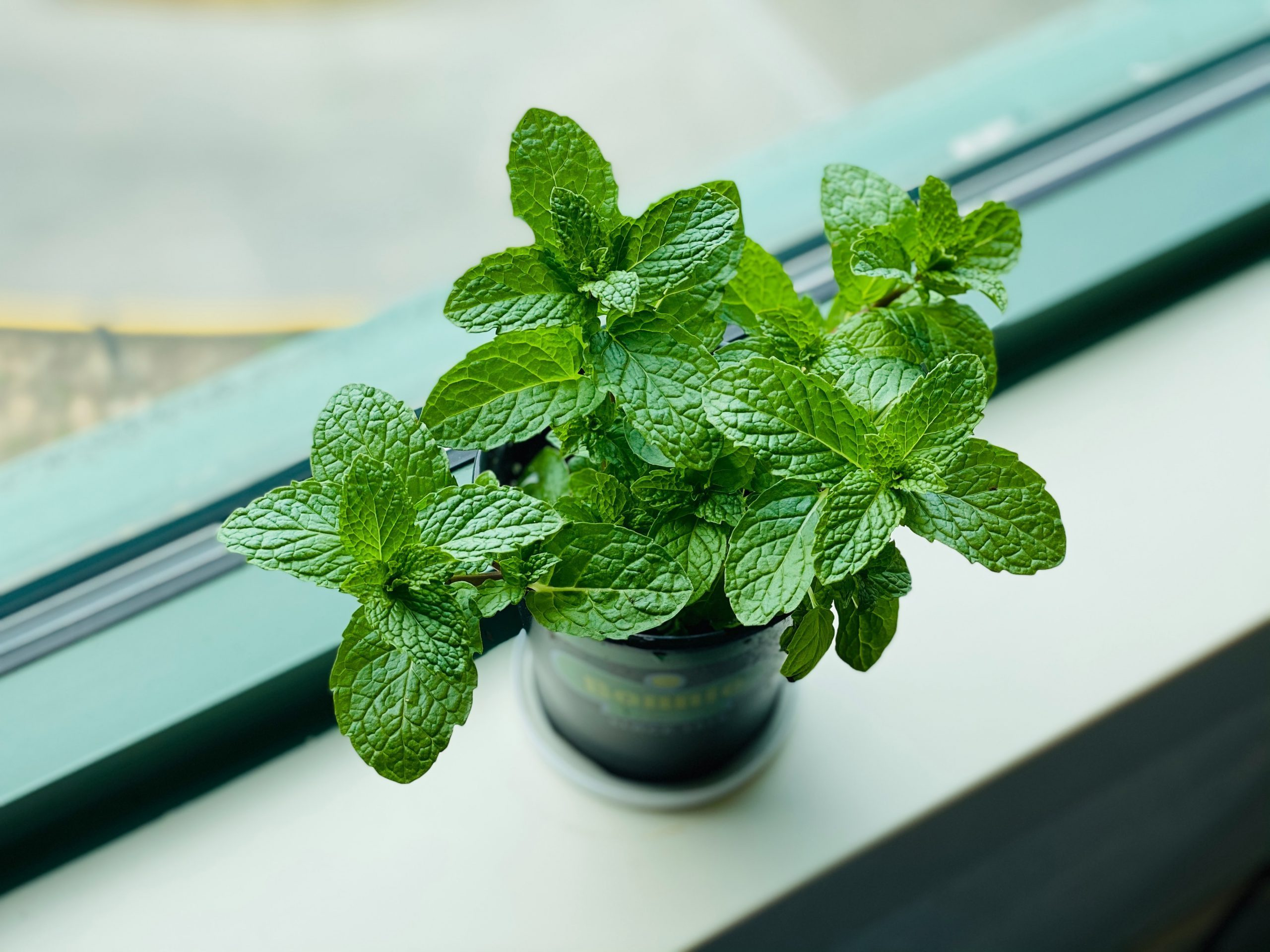 Mint Trivia   30 facts about the plant