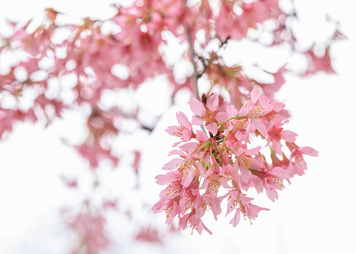 London Blossoms, England by Jackie Matear
