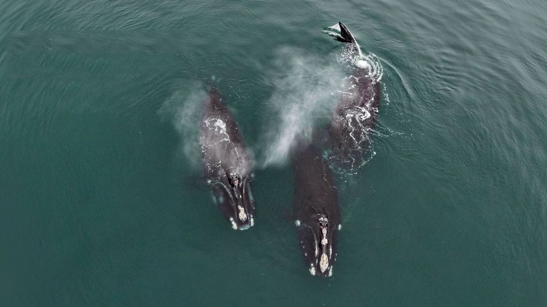 Rare Drone video shows critically endangered North Atlantic right whales