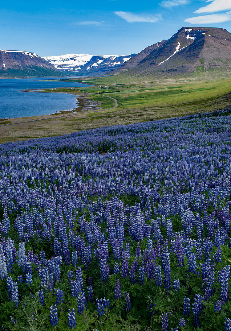 Field of Lupines, Westfjords, Iceland