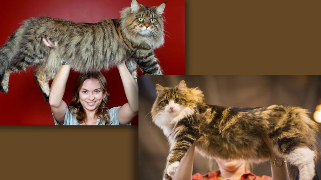 The Battle of the Big Cats: Maine Coon vs. Norwegian Forest