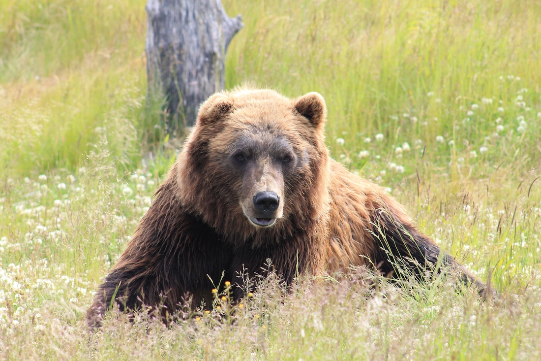Grizzly Mauls and Kills Backcountry Guide Near Yellowstone