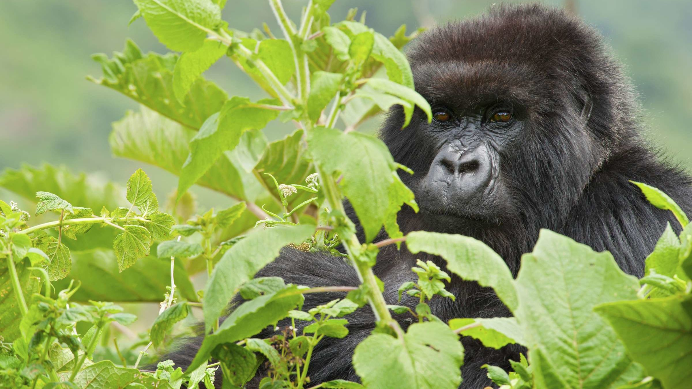 Win a Weeklong Safari to Track Gorillas With Experts in Uganda While Helping to Preserve Wilderness