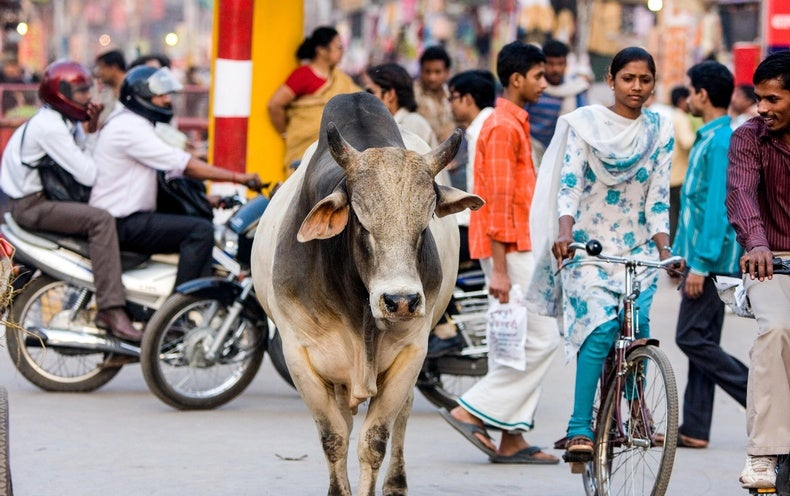 Scientists Take a Cattle Head Count in India