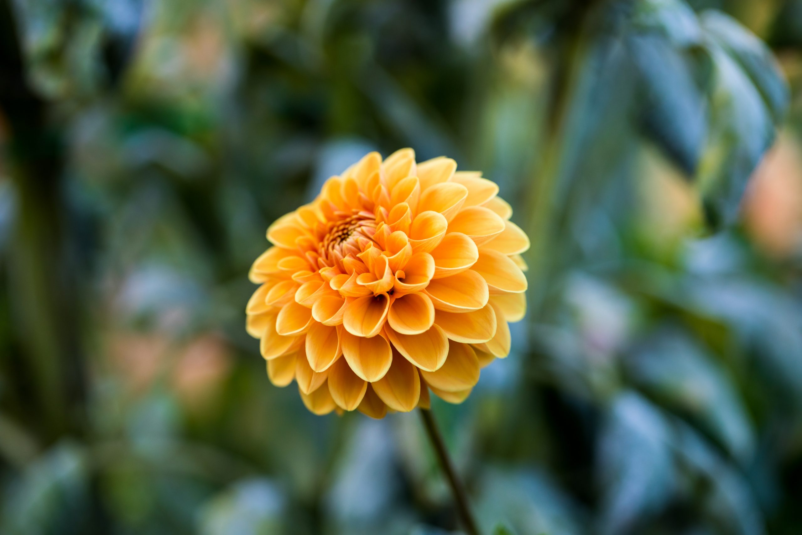 Chrysanthemum Trivia   30 facts about the flower