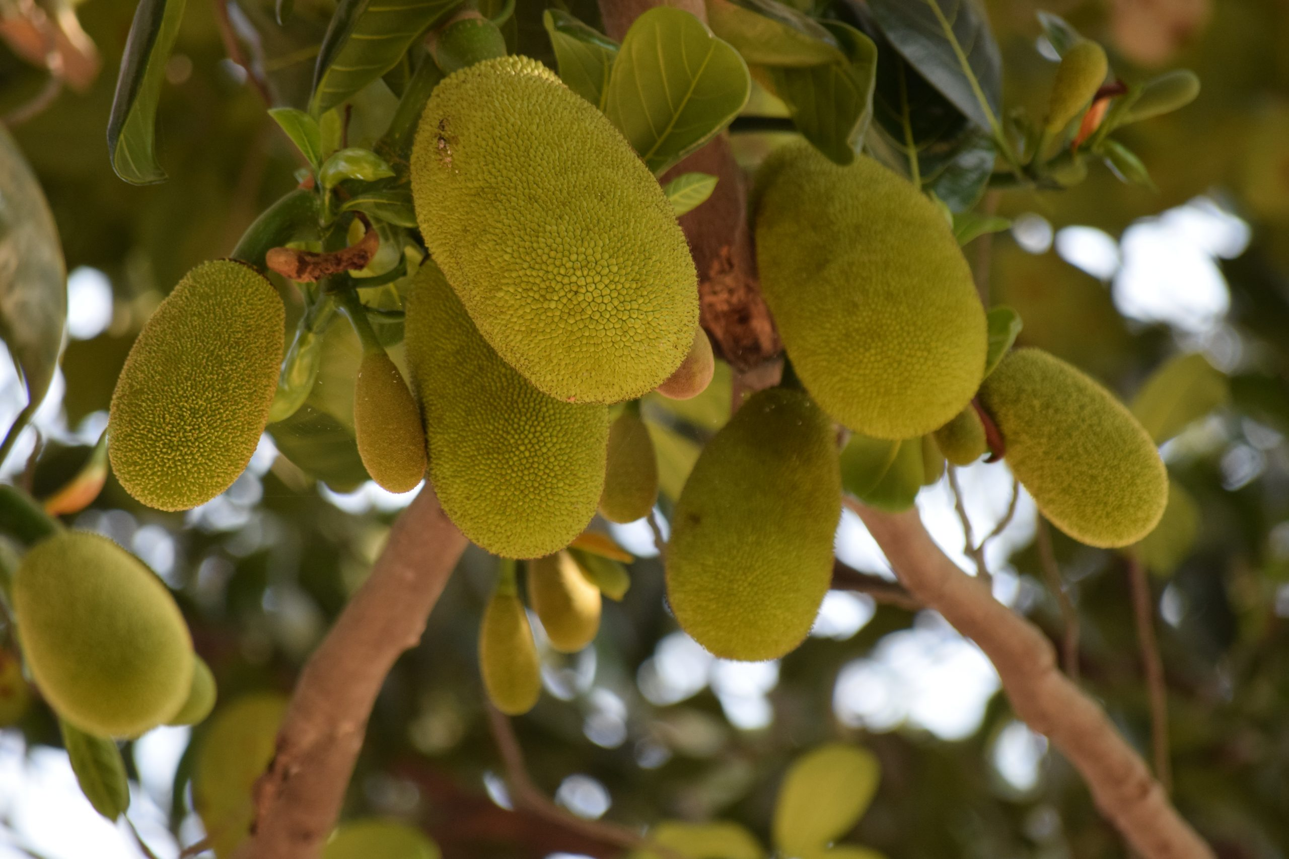 Jackfruit Trivia | 30 facts about the exotic fruit