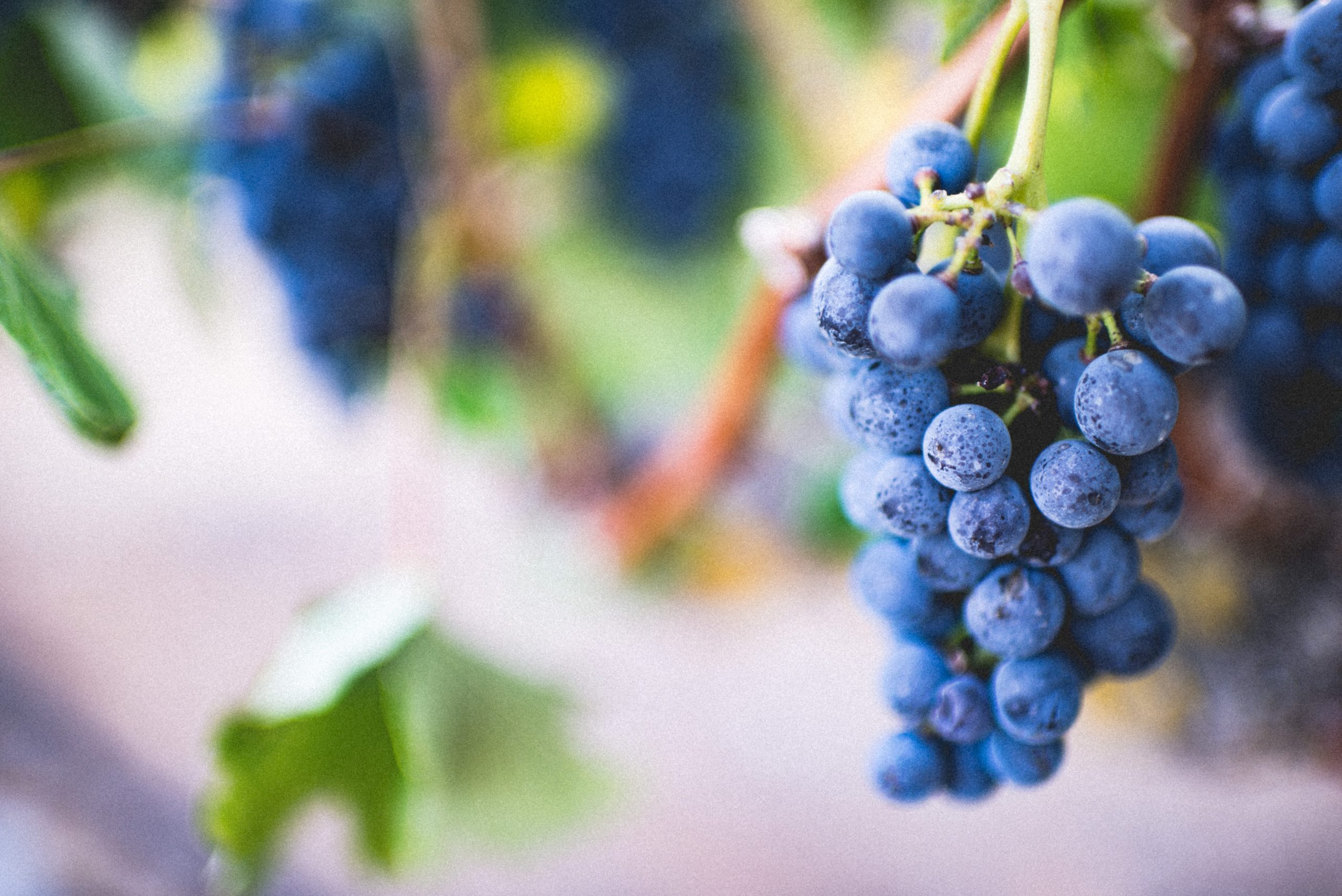Grapes Trivia   50 facts about the sweet fruit