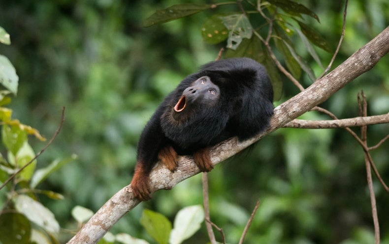 Science Sound(E)scapes: Head Banging and Howling in the Amazon
