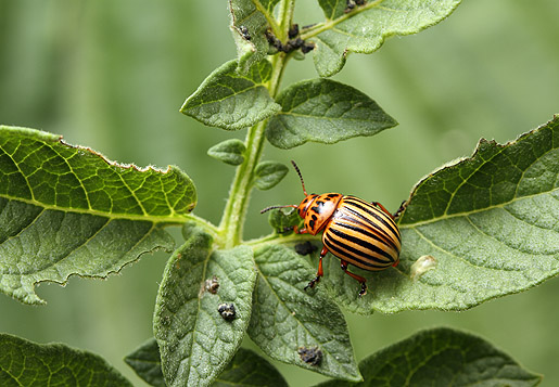 Friday Beetle Blogging: Colorado Potato Beetle