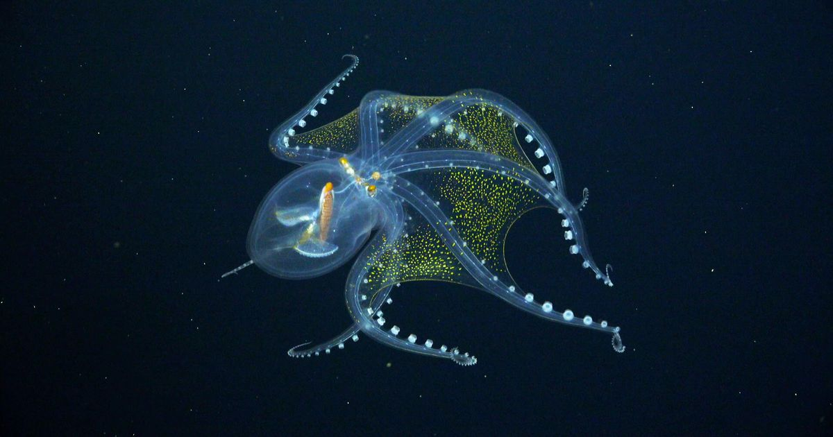 Rare, ghostly glass octopus photographed on recent Pacific Ocean expedition