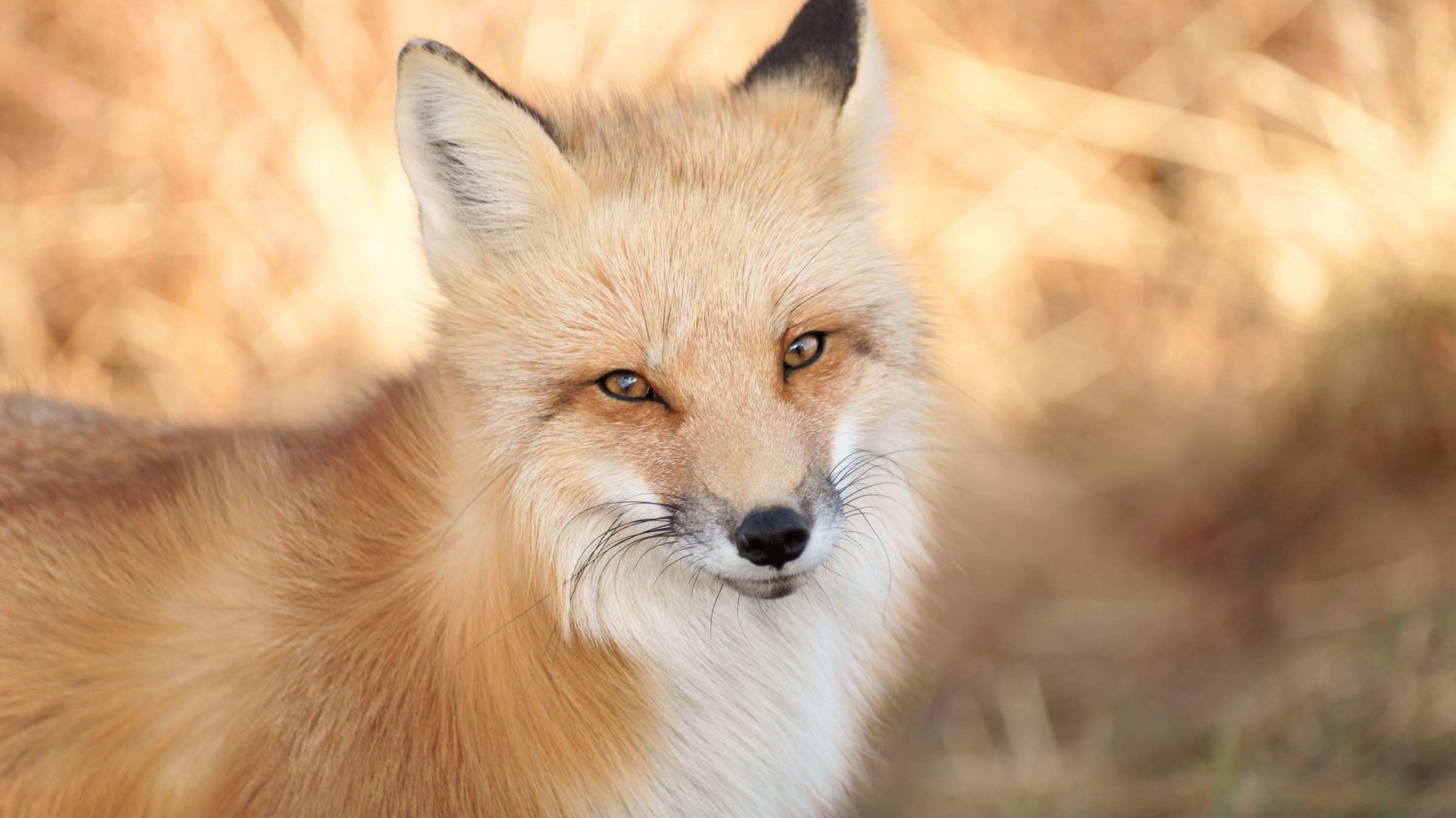 25 Fascinating Facts About Foxes