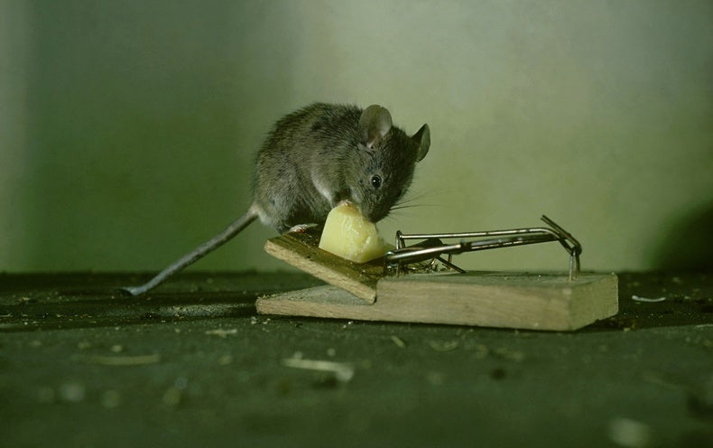 That Mouse in Your House—It's Smarter, Thanks to You
