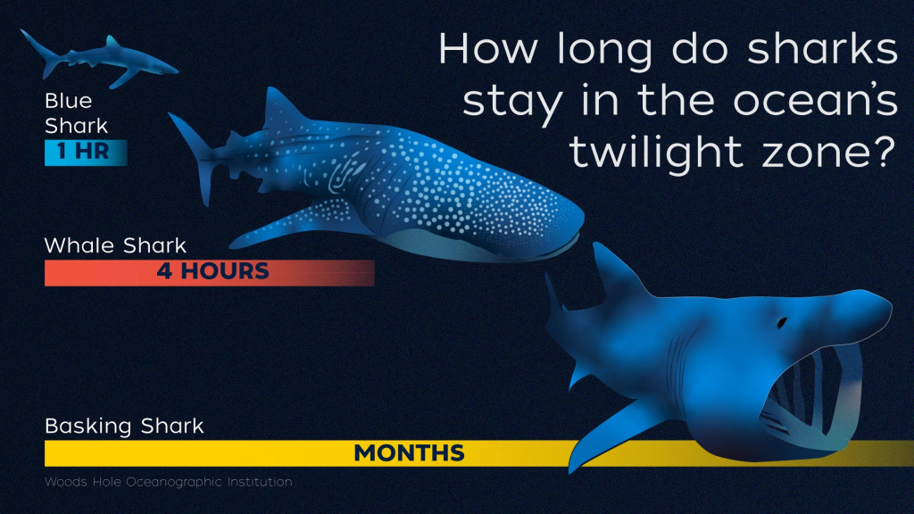 Sharks and the ocean's twilight zone: Some female great white sharks can deep dive for hours