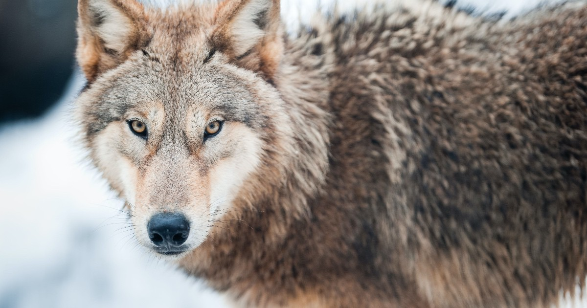 Image shows a retreating wolf, not a protector