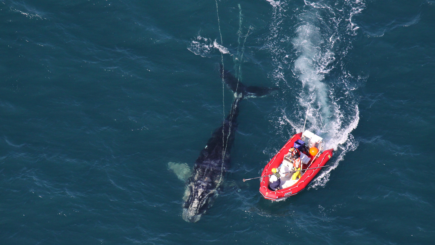 Endangered Right Whales Are Shrinking. Scientists Blame Commercial Fishing Gear