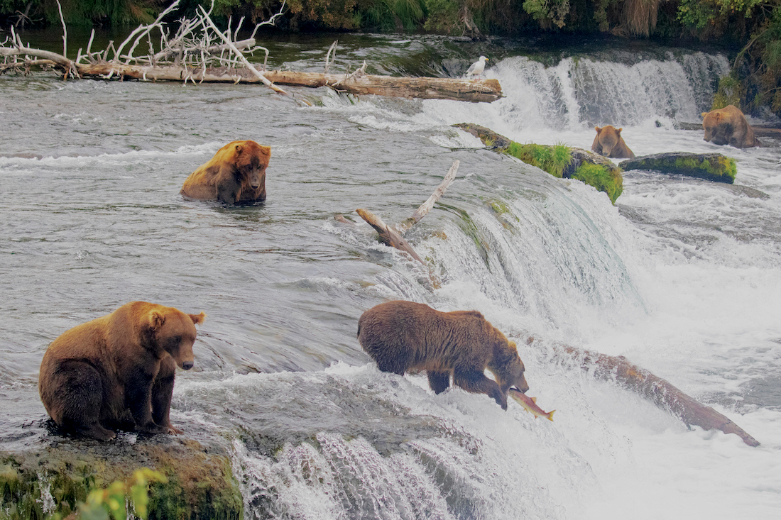 Folks, We're Pleased to Report the Bear Cams Are Back